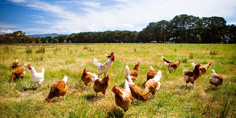 Group of brown and white free range hens in a green open field